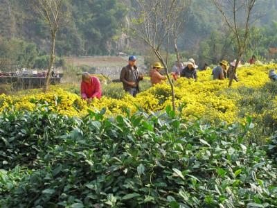 Cueilleurs de fleurs de chrysanthème (cliché de Maryse Verfaillie)