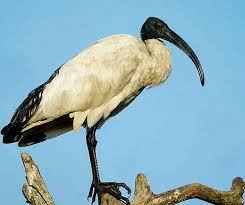 ibis-sacre